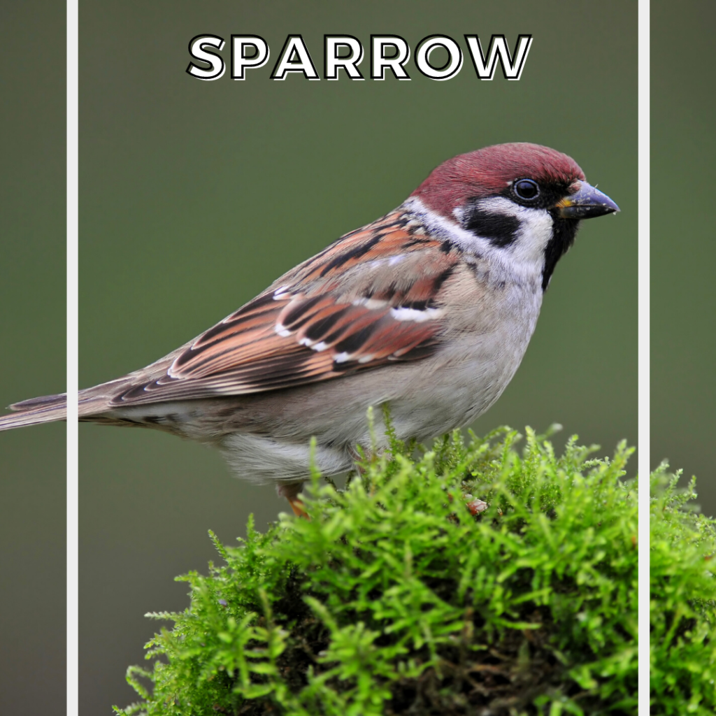 sparrow spirit guide